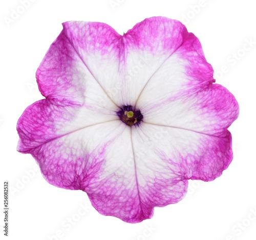 Fotografie, Obraz  purple and white petunia