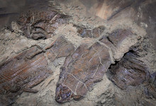 Fish Fossil / Group Of Fossil Fish In The Mud Become A Rock