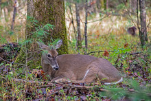 Closeup Of A Female White Tailed Deer Lying In The Woods.