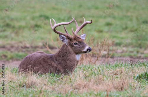 Fotografie, Obraz  White Tailed Buck lying in green grass in Cades Cove.