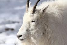 White Rocky Mountain Goat.