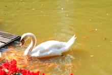 White Swan And Orange Koi Fish...
