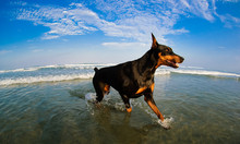 Doberman Pinscher Dog Running ...
