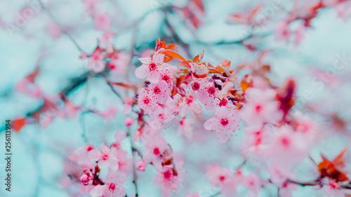 Fotografie, Obraz  Spring blossom tenderness