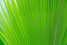 Surface Of Vertical Light Green And Yellow Palm Leaves Outdoor. Background Texture
