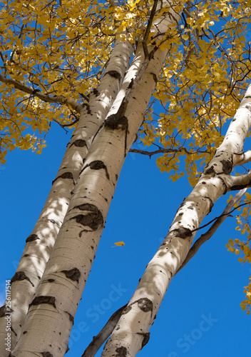 Tuinposter Berkbosje Autumn Aspen Trees From Below