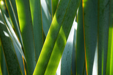 Phormium Tenax New Zealand Flax Green Plant