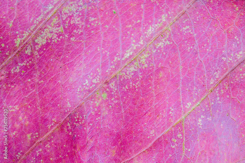 Poster Squelette décoratif de lame Abstract natural background of dry red leaf texture