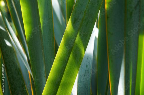 Obraz Phormium tenax new zealand flax green plant  - fototapety do salonu