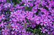Leinwanddruck Bild - Phlox subulata moss pink purple flowers background