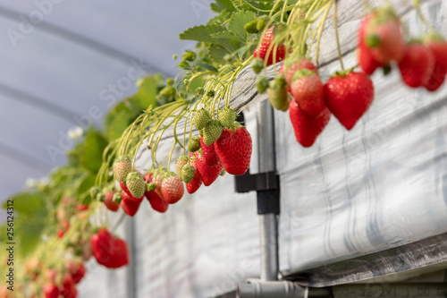 Photo  Greenhouse grown strawberries, Sanmu City, Chiba Prefecture, Naruto, Japan