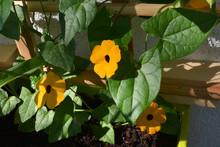 Bright Orange Flowers Of Thunb...