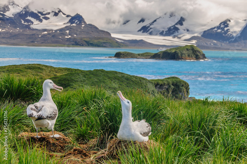 Obraz na plátne  Wandering Albatross Couple on it's Nest
