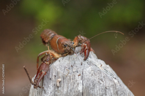 Fotografie, Obraz  crayfish in woods