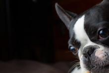 French Bull Mix Boston Terrier Dog