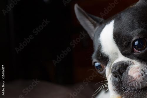 Foto auf Leinwand Französisch bulldog French bull mix boston terrier dog