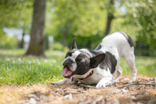 French Bull Mix Boston Terrier...