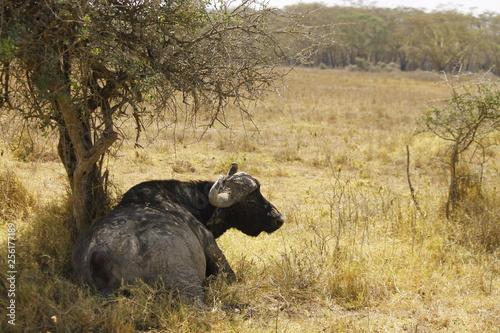 Photo  buffalo in kenya