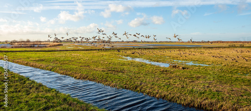 Fotografia Flying geese in a Dutch polder area