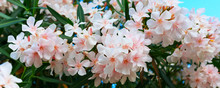 Nerium Oleander In Bloom, Whit...