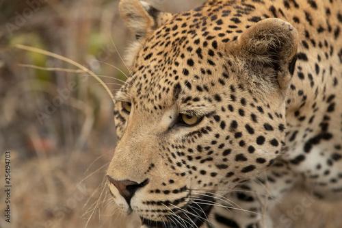 Foto  Leopard up close