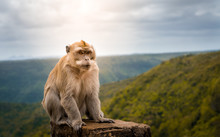 Male Macaque Monkey At Black R...
