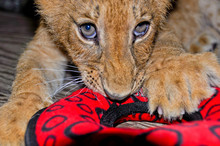 A Playful Lion Cub Enjoys Chew...