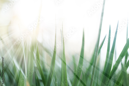 Obraz Soft focus natural green grass background. Green grass meadow in sunny morning - fototapety do salonu