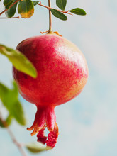 Ripening Pomegranate On A Branch On A Blue.