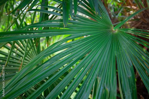 Fotografija  banana tree green leaf sunny sun day italy como garden