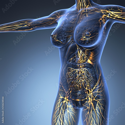 Fotografía Human limphatic system with bones in transparent body