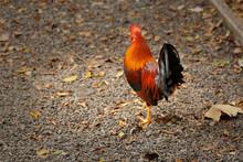 Elegant Rooster