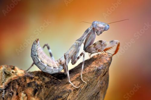 Fotografie, Obraz  Parasphendale mantis macro
