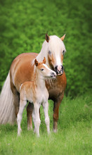 Cute Little Haflinger Foal Smooches With Its Mother