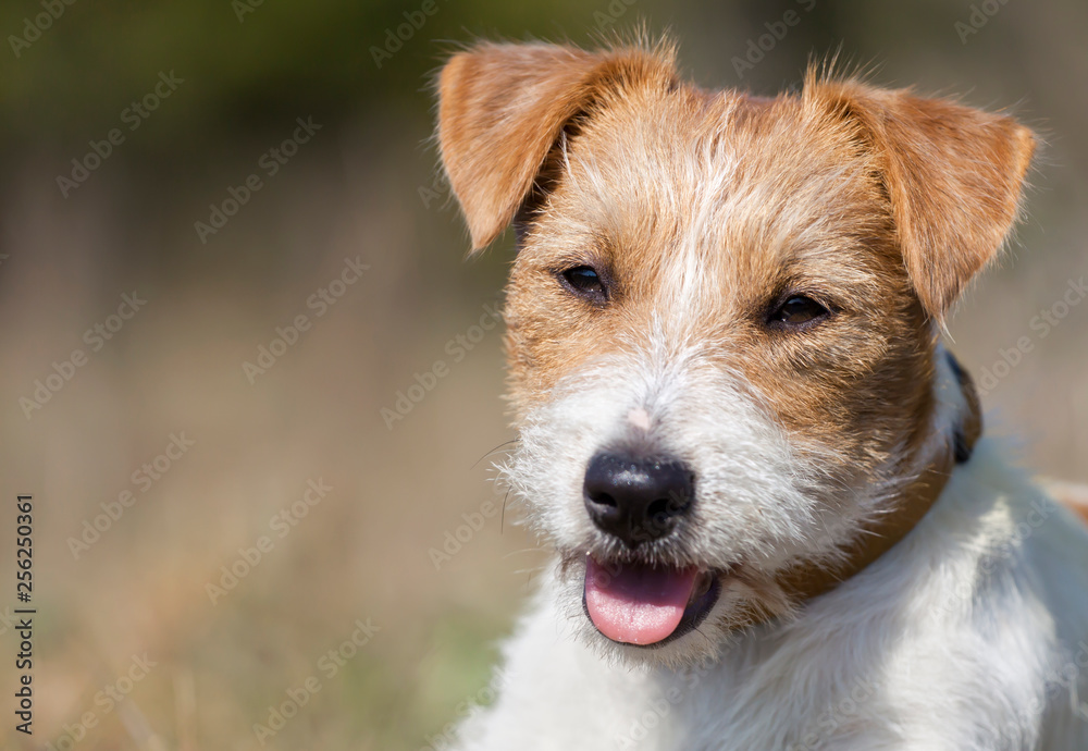 Close-up of a cute  happy jack russell pet dog as panting in a hot day