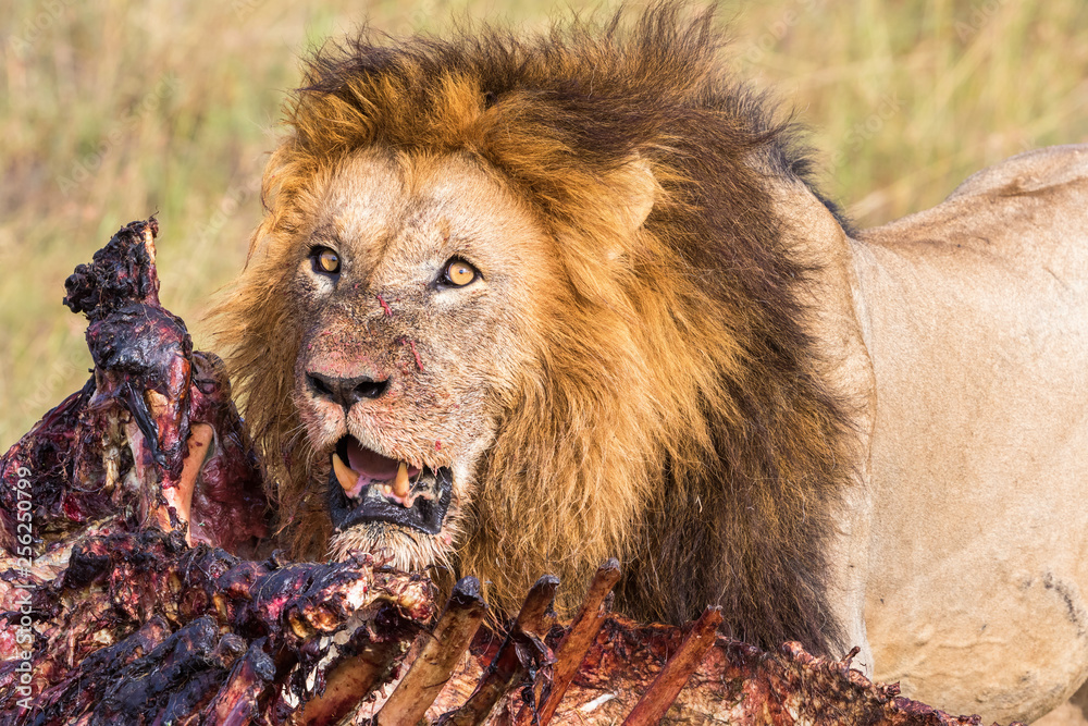 Fototapeta Animal kill and a Male Lion in africa