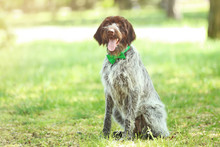 German Pointer Dog With Bow Ti...