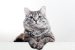 Funny large longhair gray tabby cute kitten with beautiful blue eyes. Pets and lifestyle concept. Lovely fluffy cat on white background.
