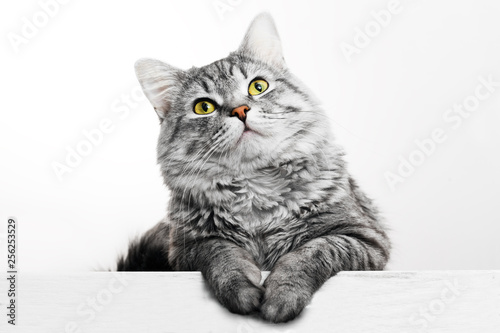 obraz lub plakat Funny large longhair gray tabby cute kitten with beautiful yellow eyes. Pets and lifestyle concept. Lovely fluffy cat on grey background.
