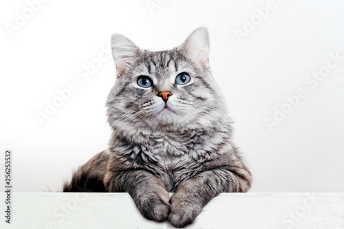 Poster Chat Funny large longhair gray tabby cute kitten with beautiful blue eyes. Pets and lifestyle concept. Lovely fluffy cat on white background.