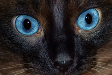 Serious Surprised Look Of Siamese Cat Close-up.