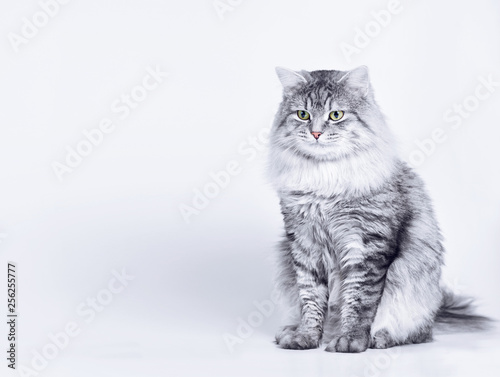 Funny large longhair gray tabby cute kitten with beautiful eyes. Pets and lifestyle concept. Lovely fluffy cat on grey background. Fototapete