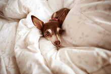 Portrait Of Chihuahua On Bed At Home