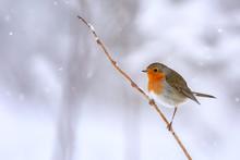 Rotkehlchen Im Schnee