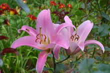 Close Up Of Two Pink Lily Flowers, Lilium Candidum, And Little Bees In A Garden In A Sunny Spring Day With Blurred Green Background