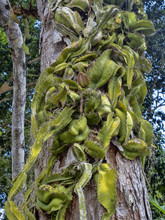Epiphytic Cactus On The Trunk,...