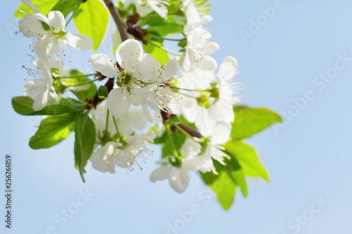 Foto op Plexiglas Kersenbloesem Apple blossom spring tree