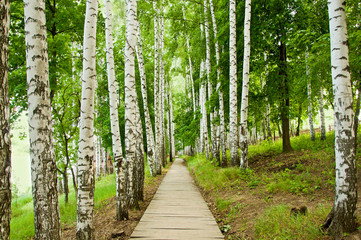 FototapetaSpring birch alley