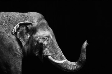 Portrait of an elephant on a black background. Isolated