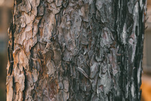 Bark Of Pine Tree Texture And Background.